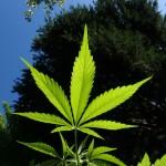 cannabis standards